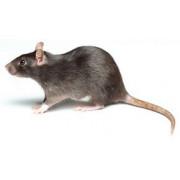 Anti rat - Produits contre les rats